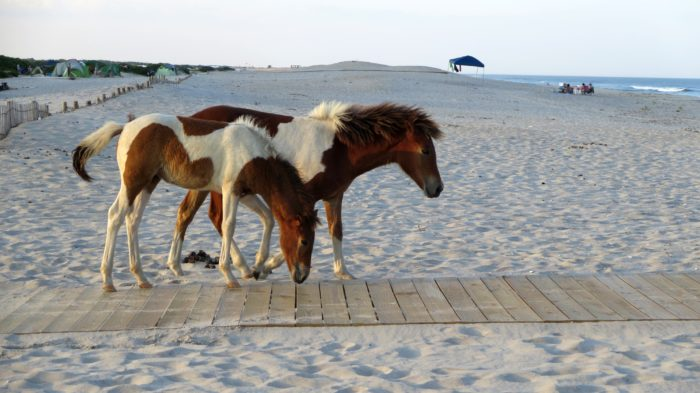 Ateague Island Is Most Well Known For Its Potion Of Wild Horses Even Without These Cunning Creatures It S Still A Pretty Impressive Place