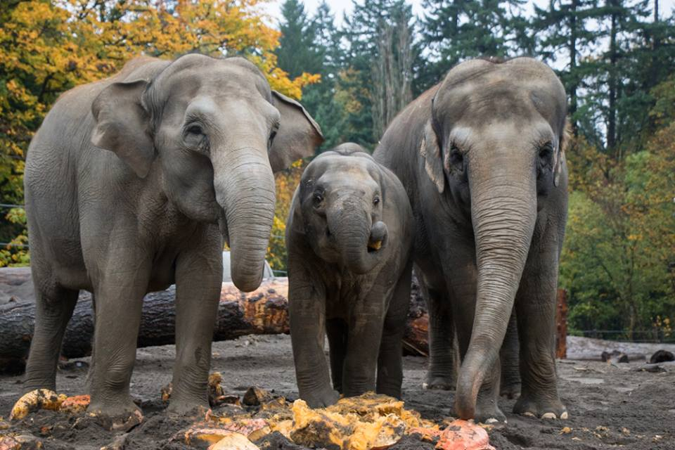 The Oregon Zoo Has An Amazing Elephant Exhibit In Portland