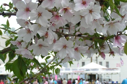 This small town in georgia is actually the cherry blossom capital of macon has over 350000 cherry trees thats more than 90 times as many as washington dc the capital only has about 3700 to 3800 cherry trees mightylinksfo