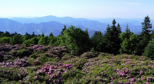 A Trip To Tennessee's Neverending Rhododendron Field Will Make Your Spring Complete