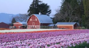 You'll Want To Visit Washington's Most Beautiful Tulip Farms Right Now