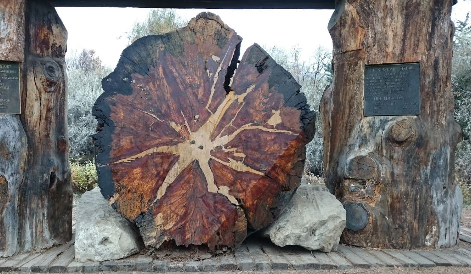The World's Largest Pine Tree Is In Boise Idaho And You'll ...