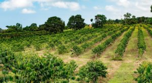The Awesome Coffee Farm In Hawaii That's Picture Perfect For A Day Trip