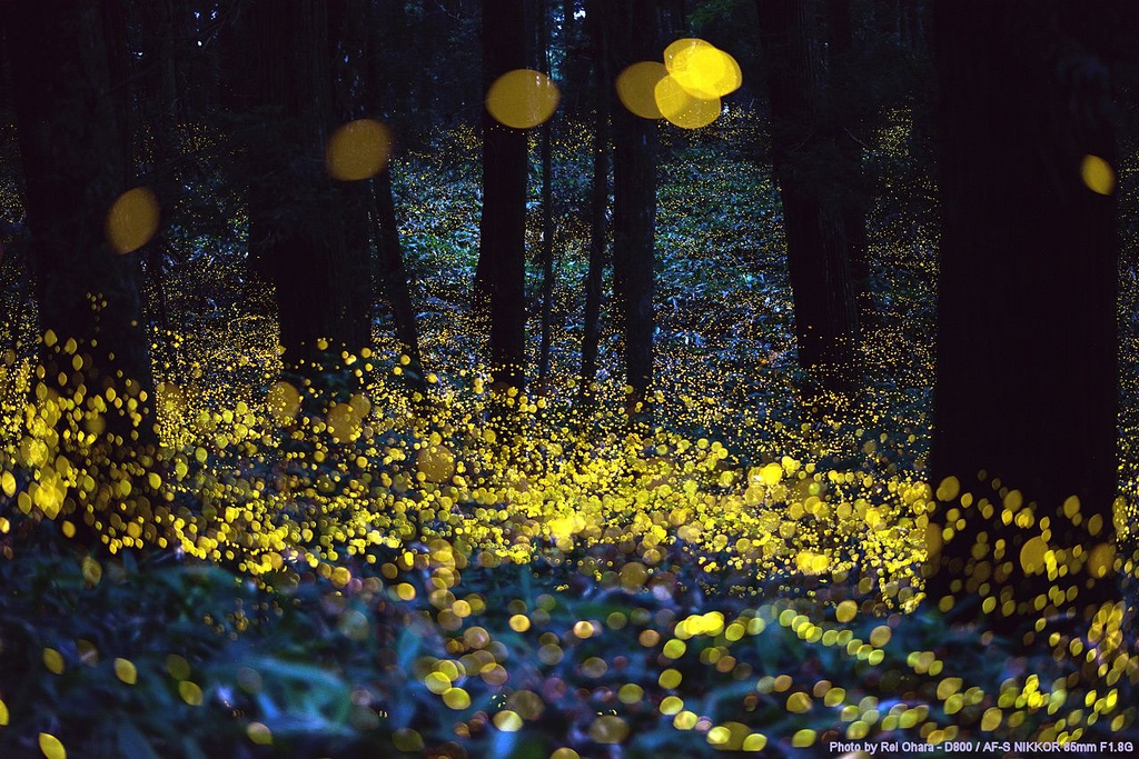 North Carolina Fireflies A Fleeting Natural Wonder That