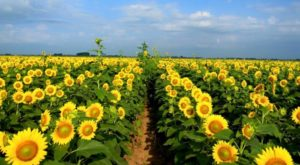 It's Impossible Not To Love This Breathtaking Sunflower Trail In Louisiana