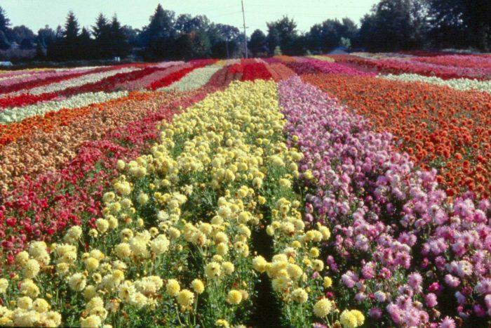 Visit This Enchanting Dahlia Flower Farm In Oregon
