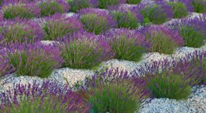 A Trip To South Carolina's Neverending Lavender Field Will Make Your Spring Complete