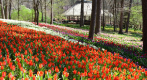 A Trip To Arkansas's Neverending Tulip Field Will Make Your Spring Complete