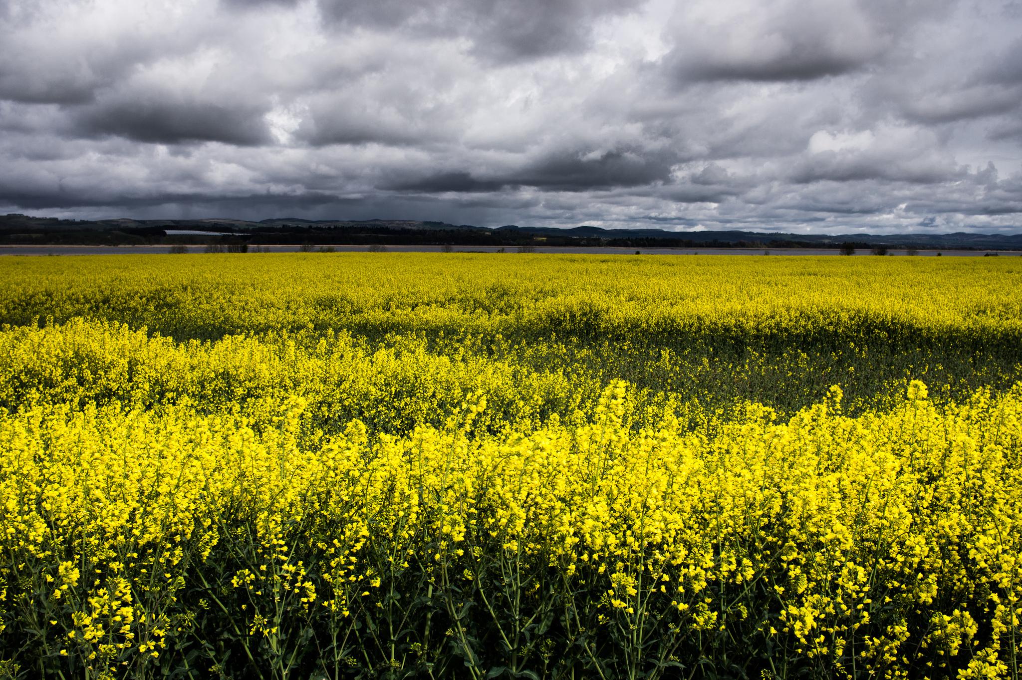 Canola Blooms In Idaho A Bucket List Worthy Day Trip