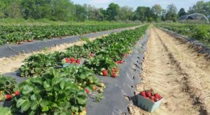 The Picture Perfect Arkansas Berry Farm You'll Fall In Love With