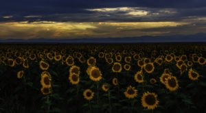 A Trip To Denver's Neverending Sunflower Field Will Make Your Spring Complete