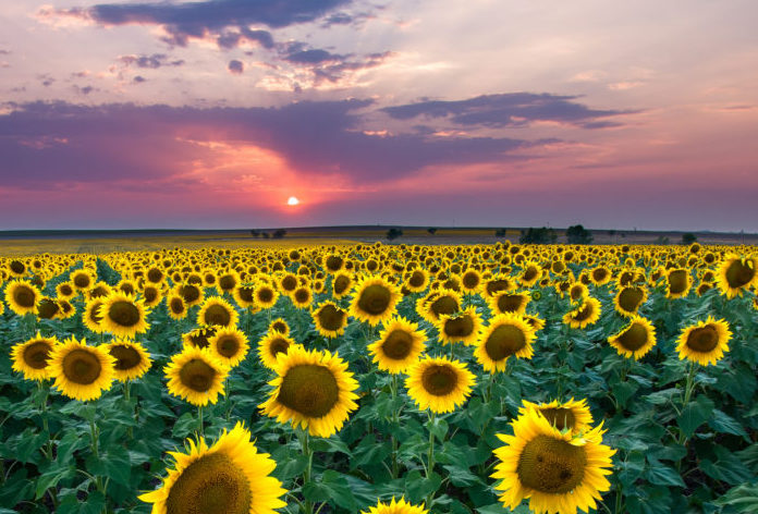 Most People Don T Know About This Magical Sunflower Field