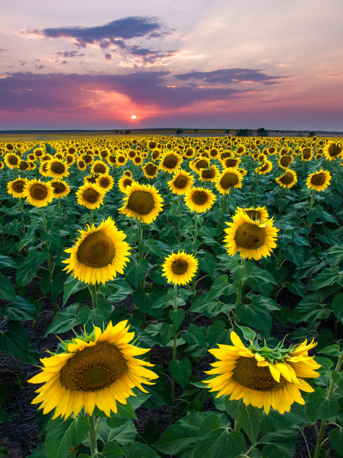 Most People Don 39 T Know About This Magical Sunflower Field