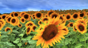 A Trip To Massachusetts' Neverending Sunflower Field Will Make Your Summer Complete