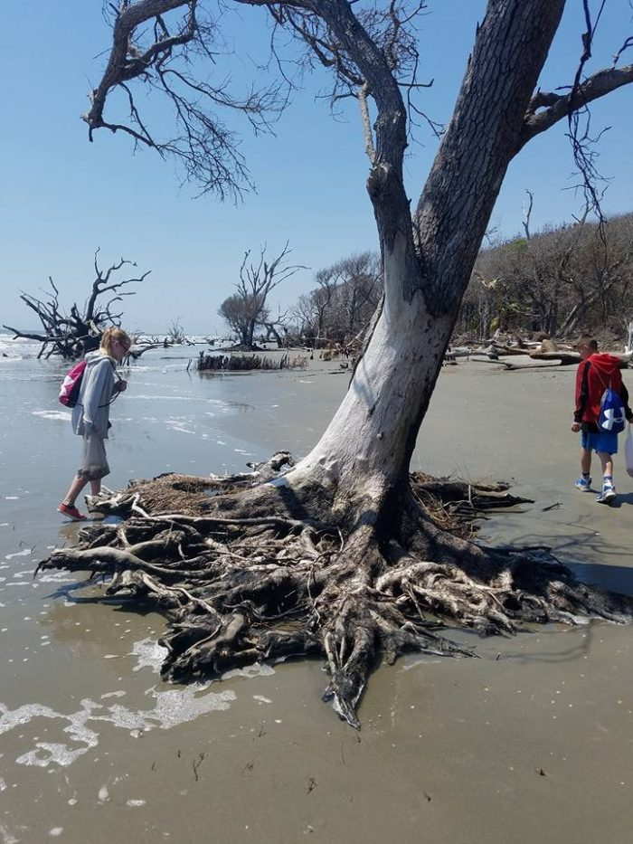 Charleston Sc To Myrtle Beach >> Boneyard Beach Is The Best Secret Beach In South Carolina