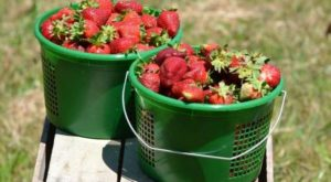 4 Reasons Strawberry Season Is The Absolute Best In North Carolina