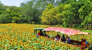 Most People Don't Know About This Magical Sunflower Field Hiding In Nebraska