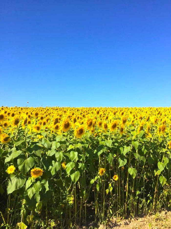A Trip To Massachusetts 39 Neverending Sunflower Field Will