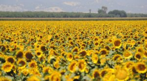 Most People Don't Know About This Magical Sunflower Field Hiding Near San Francisco