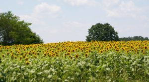 Most People Don't Know About This Magical Sunflower Field Hiding In North Carolina