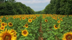 Most People Don't Know About This Magical Sunflower Field Hiding In Maryland