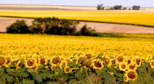 Most People Don't Know About These Magical Sunflower Fields Hiding In South Dakota