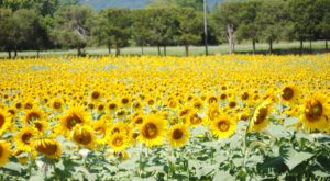 Most People Don't Know About This Magical Sunflower Field Hiding In Virginia