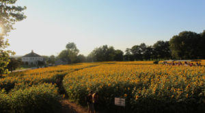 Most People Don't Know About This Magical Sunflower Field Hiding In Connecticut