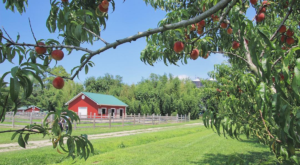 You Can Pick Your Own Delicious Peaches At This Scenic Farm In Virginia