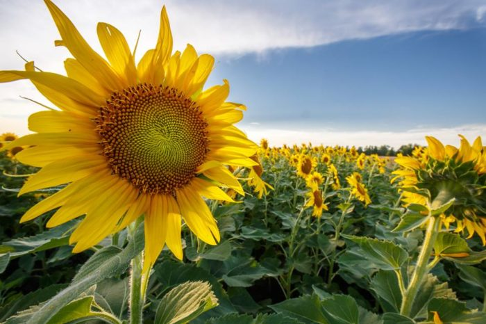 You Need To See The Magical Sunflower Field Hiding In Missouri