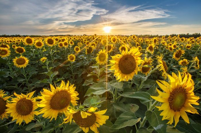Image result for sunflower field