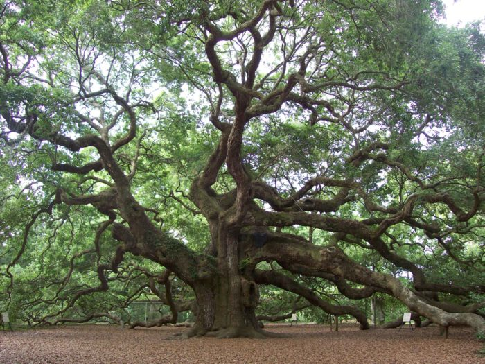 Angel Oak Is The Most Amazing Natural Wonder In South Carolina