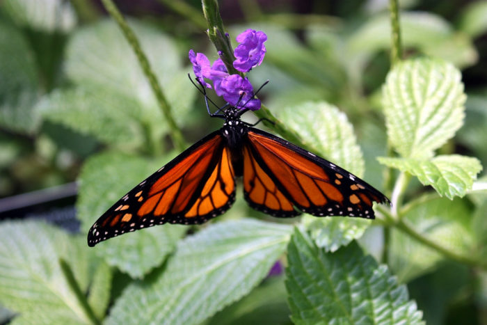 Walk Among The Butterflies In The Butterfly Forest At Phipps Conservatory  And Botanical Gardens Sunday Through Thursday From 9:30 A.m. To 5 P.m. And  Friday ...