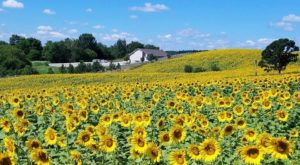 A Trip To Wisconsin's Neverending Sunflower Field Will Make Your Summer Complete