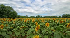Maryland's Sunflower Field Has Burst Into Bloom And It's Truly Magical