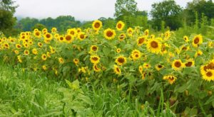Most People Don't Know About This Magical Sunflower Field Hiding in West Virginia