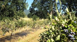 A Trip To This Pick Your Own Blueberry Farm In Portland Will Make Your Summer Complete