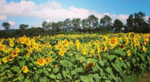 Most People Don't Know About This Magical Sunflower Field Hiding In Vermont