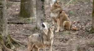 Most People Have No Idea This Wolf Sanctuary Is Hiding In Missouri