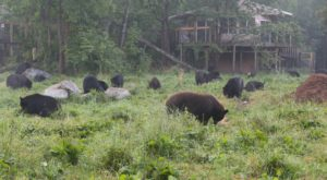 Minnesota Is Home To The World's Largest Black Bear Sanctuary, And You Can Visit It