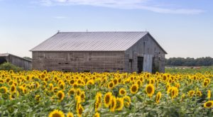 Most People Don't Know About This Magical Sunflower Field Hiding In Delaware