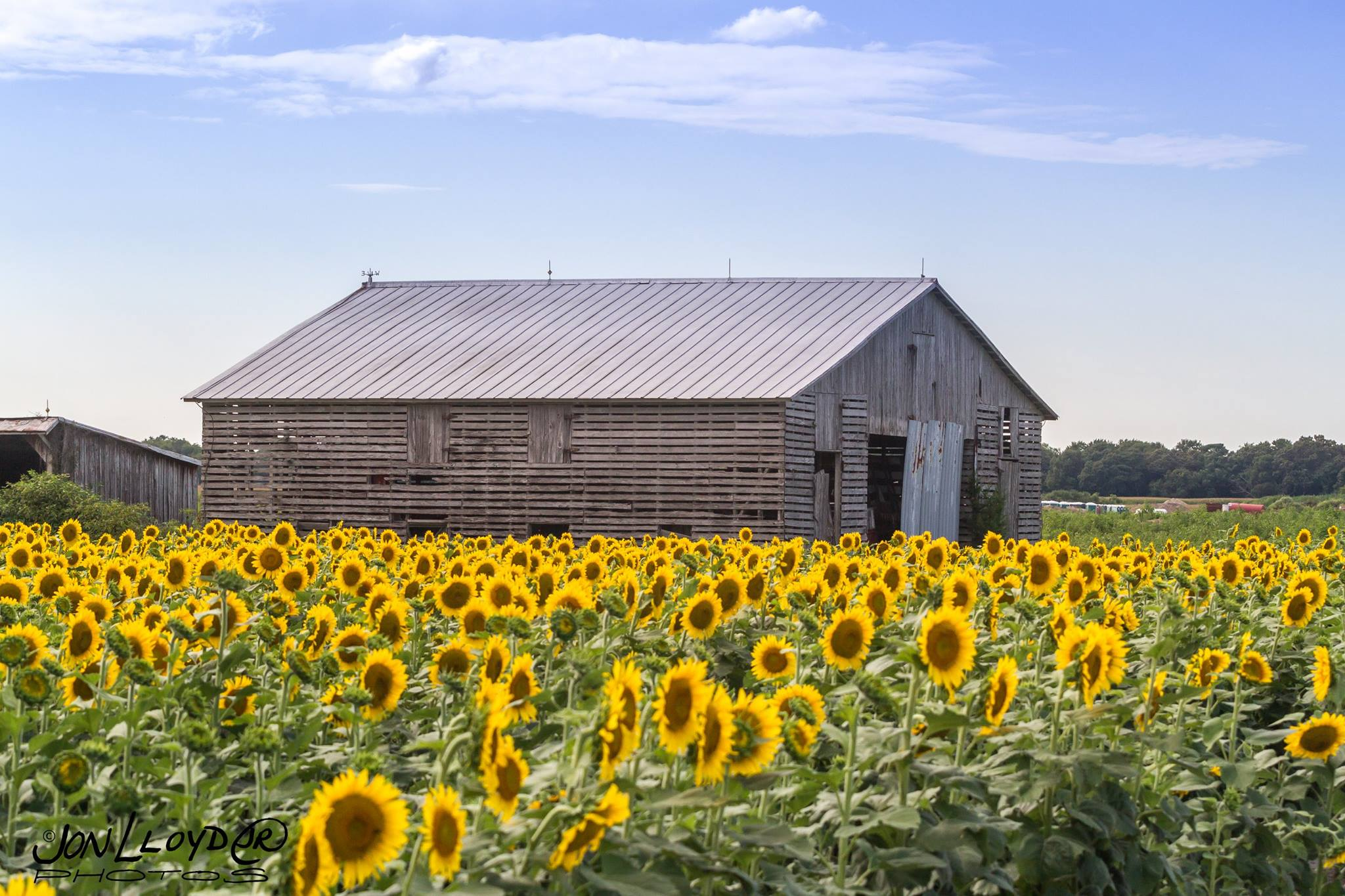 Most people dont know about this magical sunflower field in delaware mightylinksfo