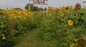 Most People Don't Know About This Magical Sunflower Field Hiding In Florida