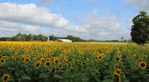 Most People Don't Know About This Magical Sunflower Field Hiding In Michigan