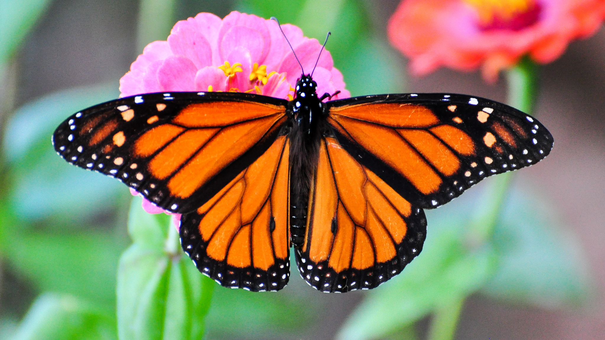 The Most Beautiful Monarch Butterfly Migration Ever Is ...