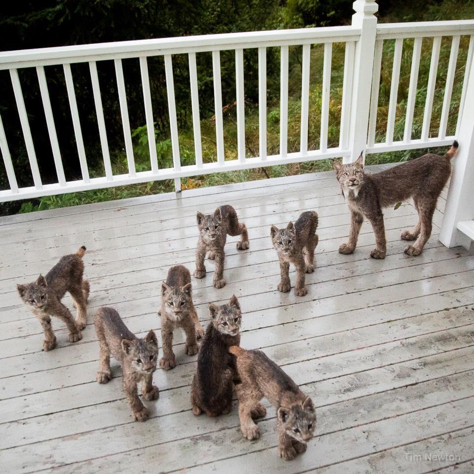 Canada Lynx Family on the Hunt... - YouTube |Lynx Cat Family