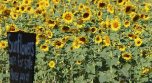 Most People Don't Know About This Magical Sunflower Field Hiding In Mississippi
