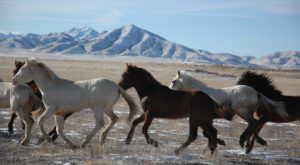 Take This Utah Drive To See Wild Horses Running Free
