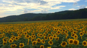 Most People Don't Know About This Magical Sunflower Field Hiding In New Jersey