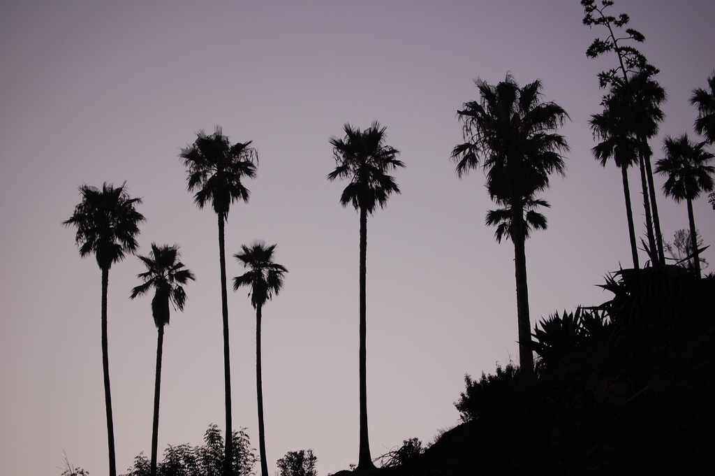 Why Palm Trees In La Might Soon Disappear For Good Only